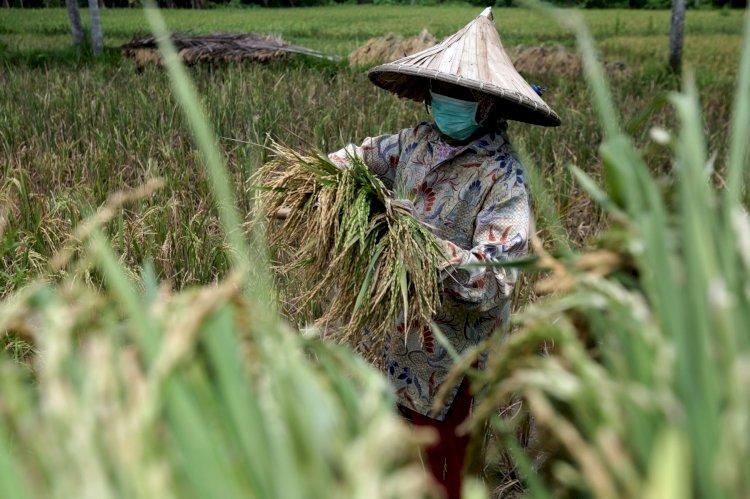 Musim Panen, Petani Keluhkan Harga Gabah yang Anjlok