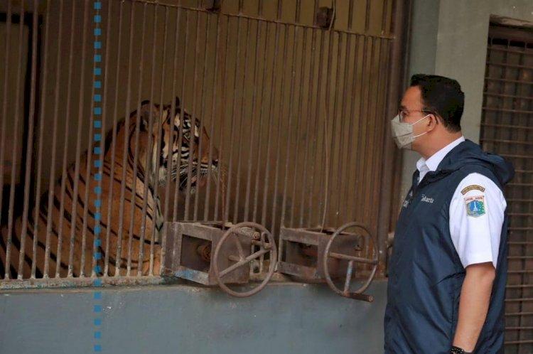2 Harimau Sumatera di Taman Margasatwa Ragunan yang Positif Covid-19 Sudah Sembuh