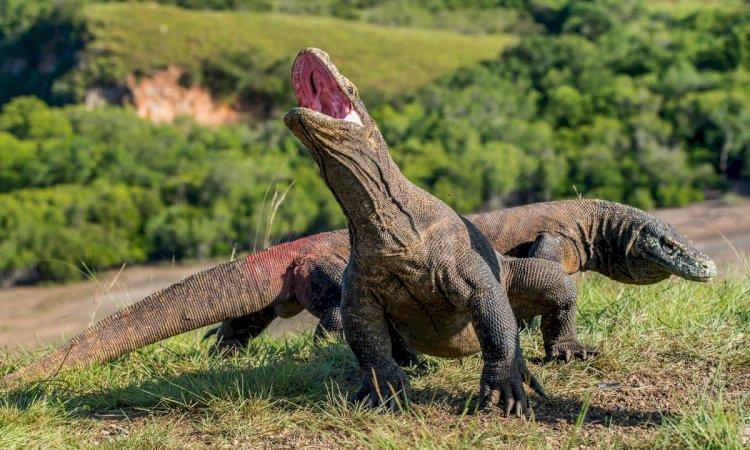 Disentil UNESCO, Proyek Jurassic Park di Taman Nasional Komodo Jadi Sorotan Media Asing